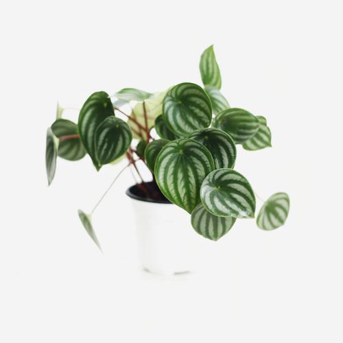 Peperomia Argyreia - Houseplants or Indoorplants