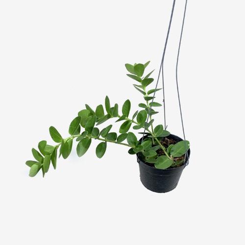 Hoya Cumingiana - Houseplants or Indoorplants