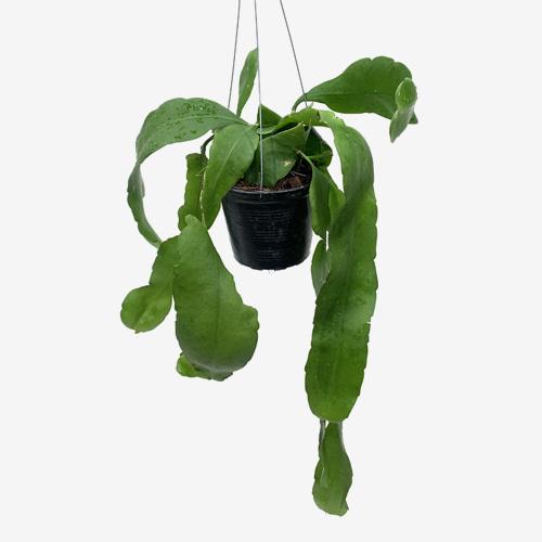 Epiphyllum Oxypetalum - Houseplants or Indoorplnats