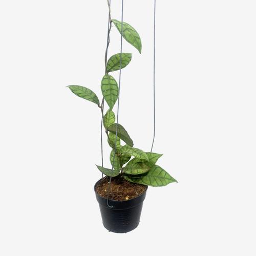 Hoya Callistophylla - Houseplants or Indoorplants