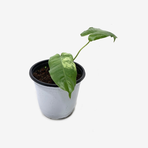 Philodendron Burle Marx Variegated(M) - Houseplants or Indoorplants