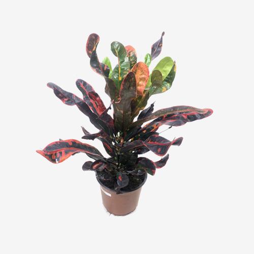 Croton Mammy Plant