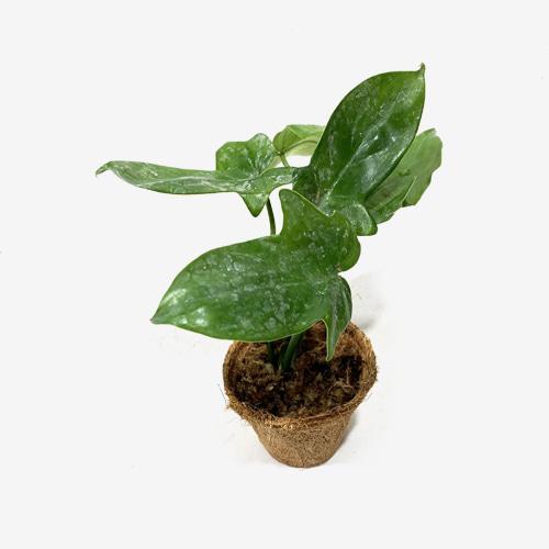Philodendran Laciniatum(pedatum)