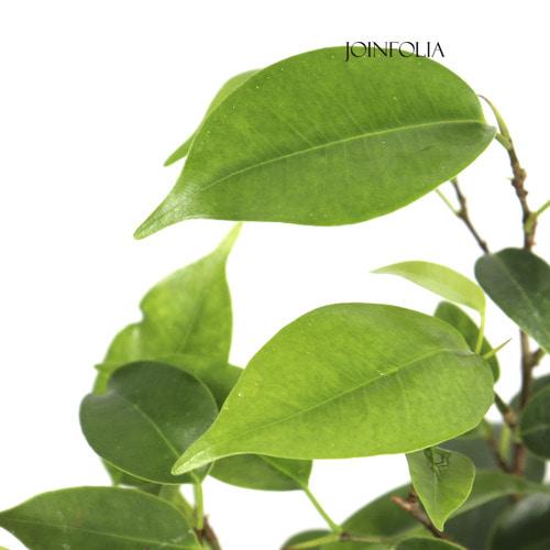 벤자민고무나무 작은포트
