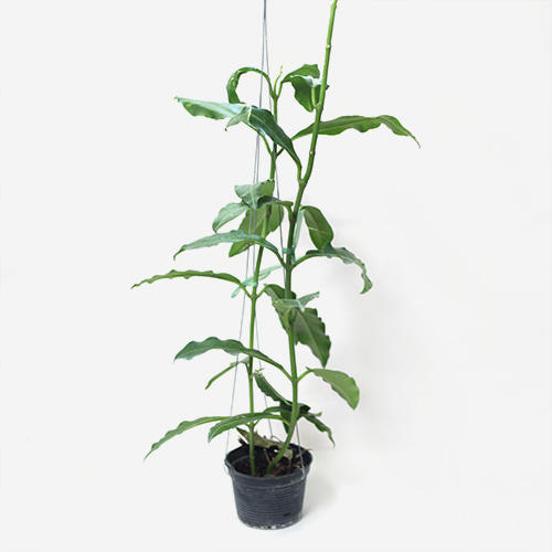 Hoya Imperialis - Houseplants or Indoorplants