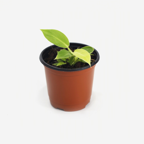 Philodendron Moonshine