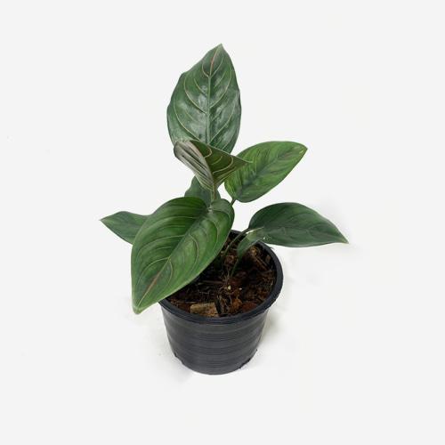 Aglaonema Red Vein - Houseplants or Indoorplants