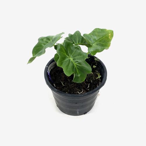 Philodendron Atom - Houseplants or Indoorplants
