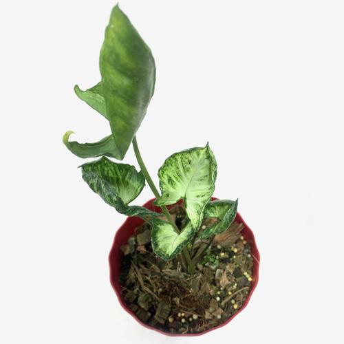 Syngonium Godzilla - Houseplants or Indoorplants